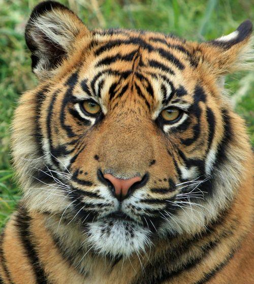 tiger cub tiger cub