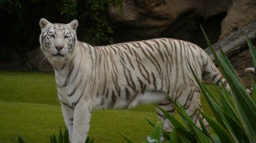 tigras,kilnus,katė