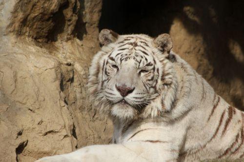tiger looking big cat