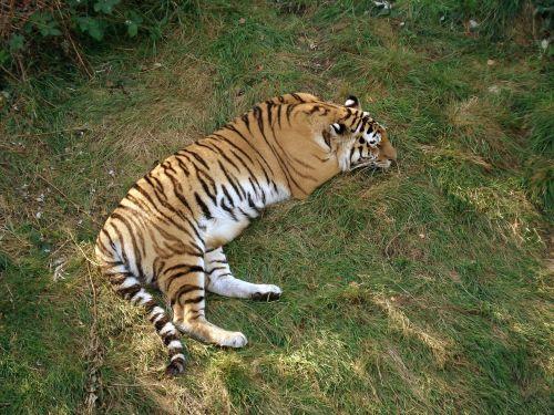tiger siberian tiger amur tiger
