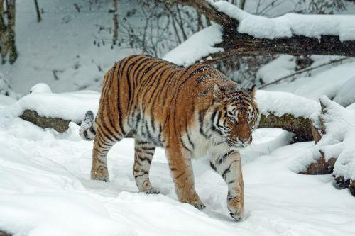 tiger amurtiger predator