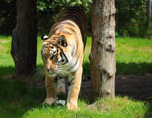tiger zoo cat
