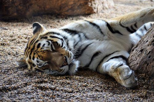 tiger sleeping playful