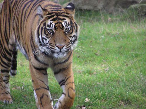 tiger zoo predator