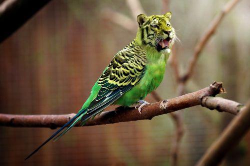 tiger budgie tiger parakeet