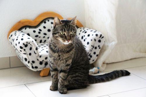 tiger cat dalmatians