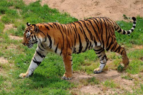 tiger siberian tiger zoo