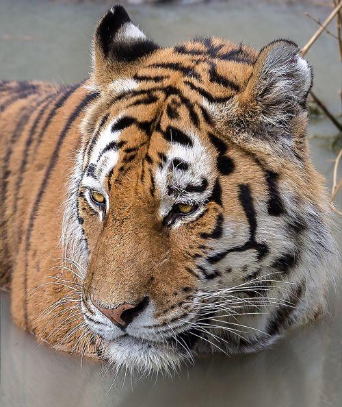 tiger zoom gelsenkirchen zoo