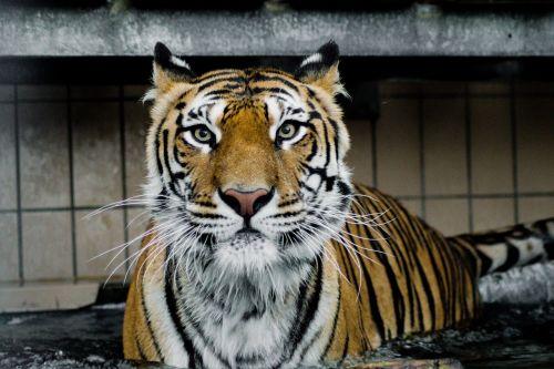 tiger predator wildcat