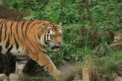 tiger zoo tiger paw