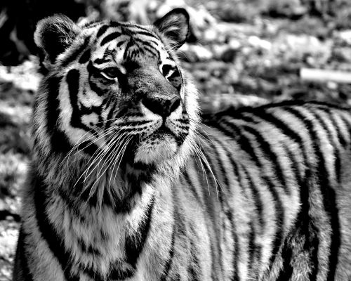 tiger predator dangerous