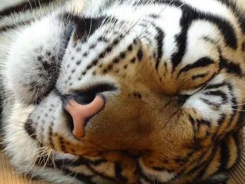 tigras,gyvūnai,geltona,Laukiniai gyvūnai,plėšrūnas,mėsėdis,gamta,laukiniai,tirai,kačių,kūdikiai,galva