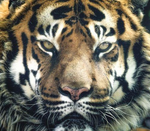 tiger bengal stripes