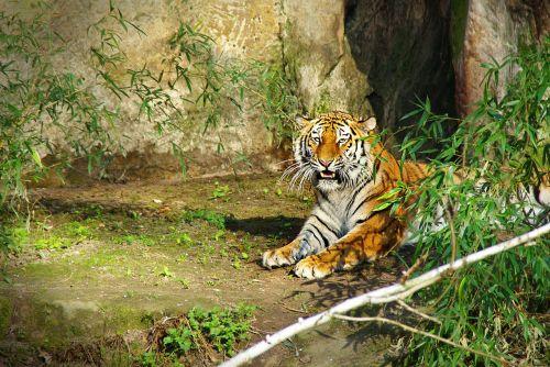tiger panthera tigris big cat