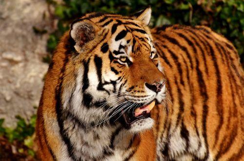 tiger cat predator