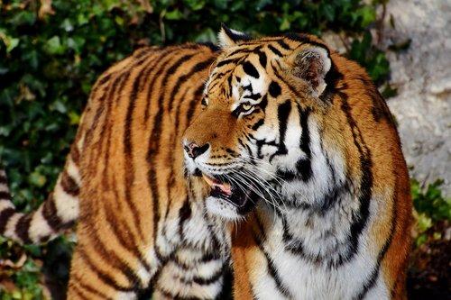 tiger  tiger head  big cat
