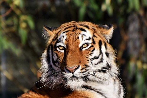 tiger  siberian tiger  tiger head