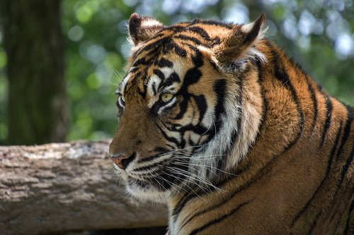 tiger  head  feline