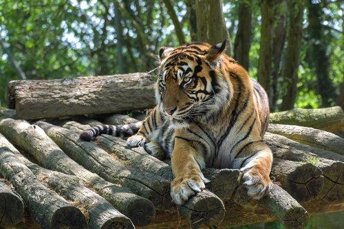 tiger  feline  predator