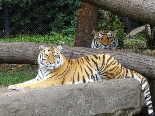 tiger  striped  predator