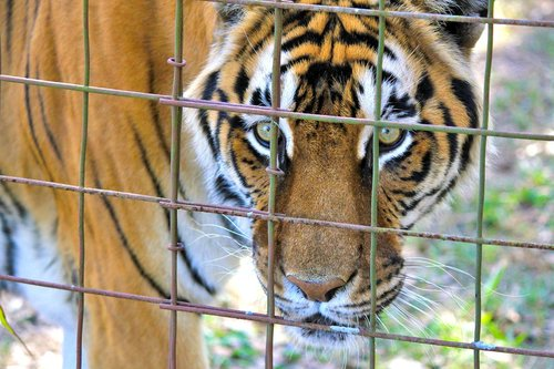 tiger  caged tiger  tiger face