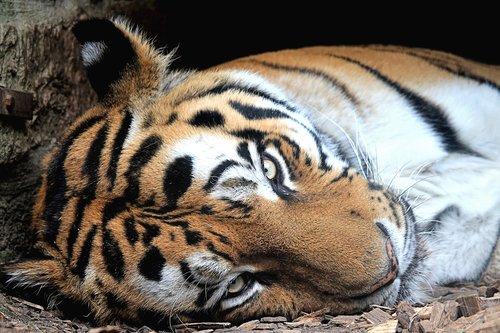 tiger  siberian-tiger  predator