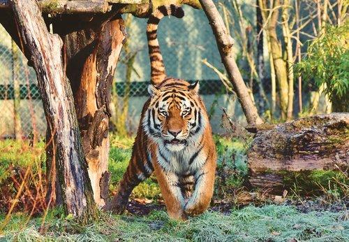 tiger  siberian tiger  big cat