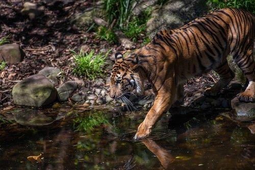 tiger  sumatran tiger  panthers tigris
