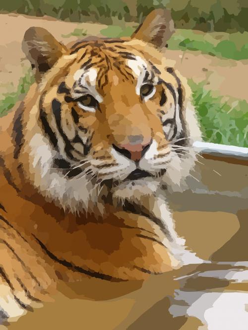 tiger sumatran tiger predator