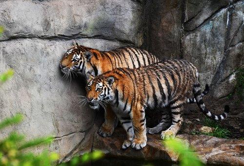tiger  animal  carnivores