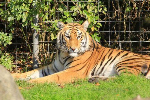 tiger head cat