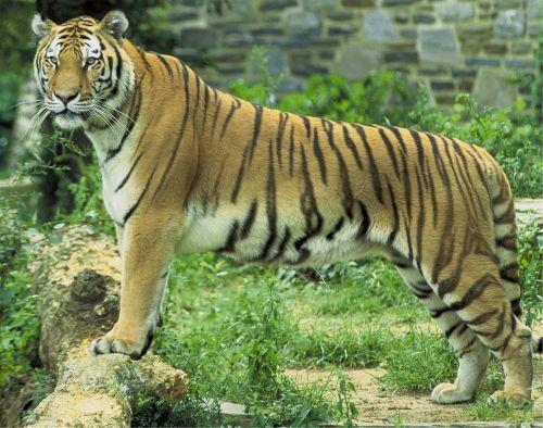 tiger feline big cat