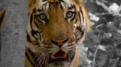 tiger cat zoo