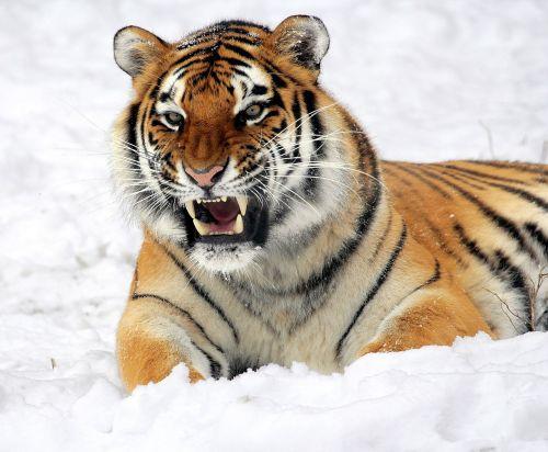tiger snow growling