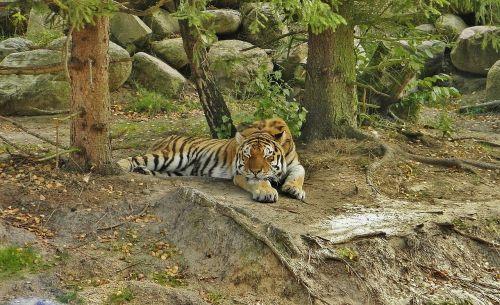 tiger animal enclosures tired