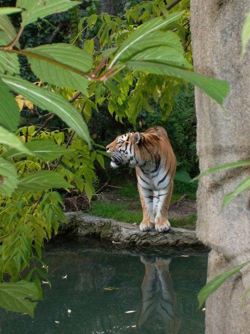 tiger wild zoo