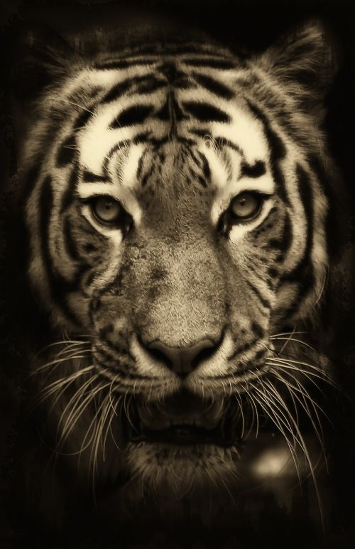 tiger africa purry