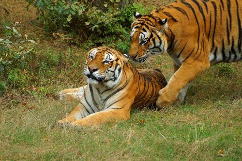tiger play snuggle