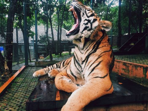 tiger roar animal