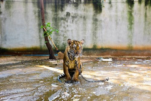 tiger animal chained
