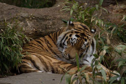 tiger sleepy zoo