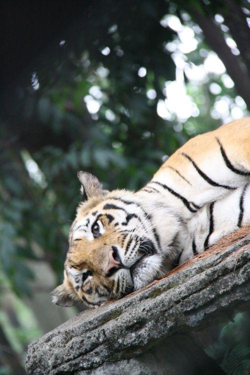tiger sleepy big