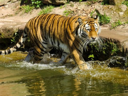 tiger predator cat