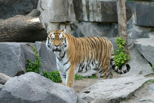 tiger sumatran tiger cat