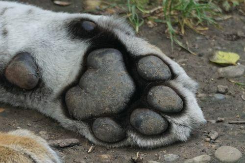 tiger paw foot
