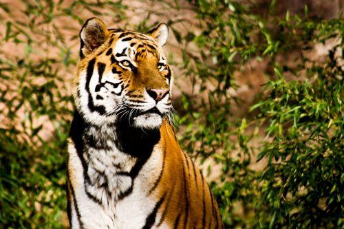 tiger wildcat power
