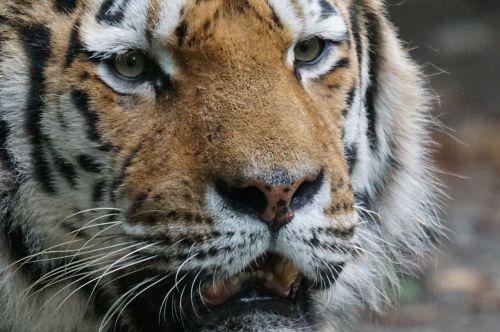 tiger close predator