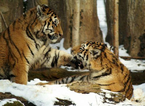 tiger snow cat