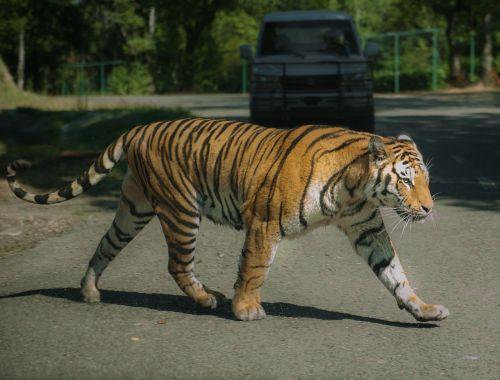 tiger varallo pombia imposing