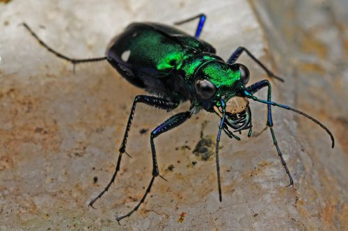 tiger beetle insect macro